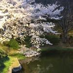 【岩田散歩】日本の桜名所「三ッ池公園」で多種の桜とお花見
