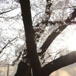 【岩田散歩】桜越しに東京タワーが見えるスポット・芝公園で花見