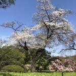 新宿御苑〜おすすめお花見スポット