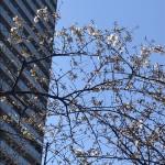 中野に桜が咲いた!!